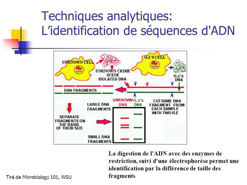 Techniques analytiques: Lidentification de séquences d ADN La digestion de l ADN avec des enzymes de restriction, suivi d une électrophorèse permet une identification par la différence de taille des fragments Tiré de Microbiology 101, WSU