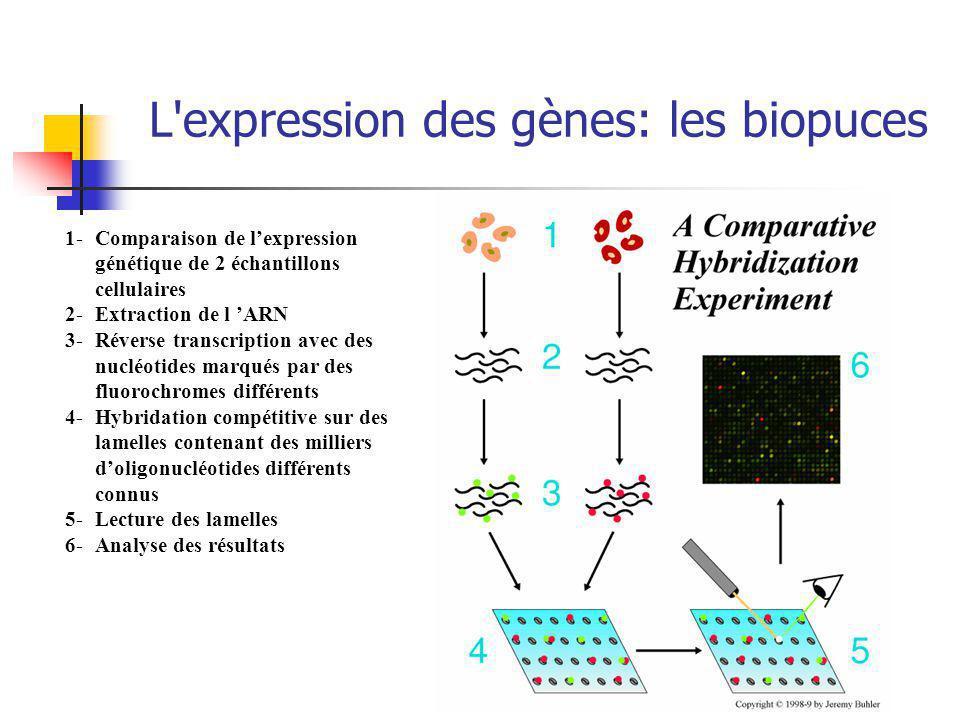 L expression des gènes: les biopuces 1- Comparaison de lexpression génétique de 2 échantillons cellulaires 2- Extraction de l ARN 3-Réverse transcription avec des nucléotides marqués par des fluorochromes différents 4- Hybridation compétitive sur des lamelles contenant des milliers doligonucléotides différents connus 5- Lecture des lamelles 6- Analyse des résultats
