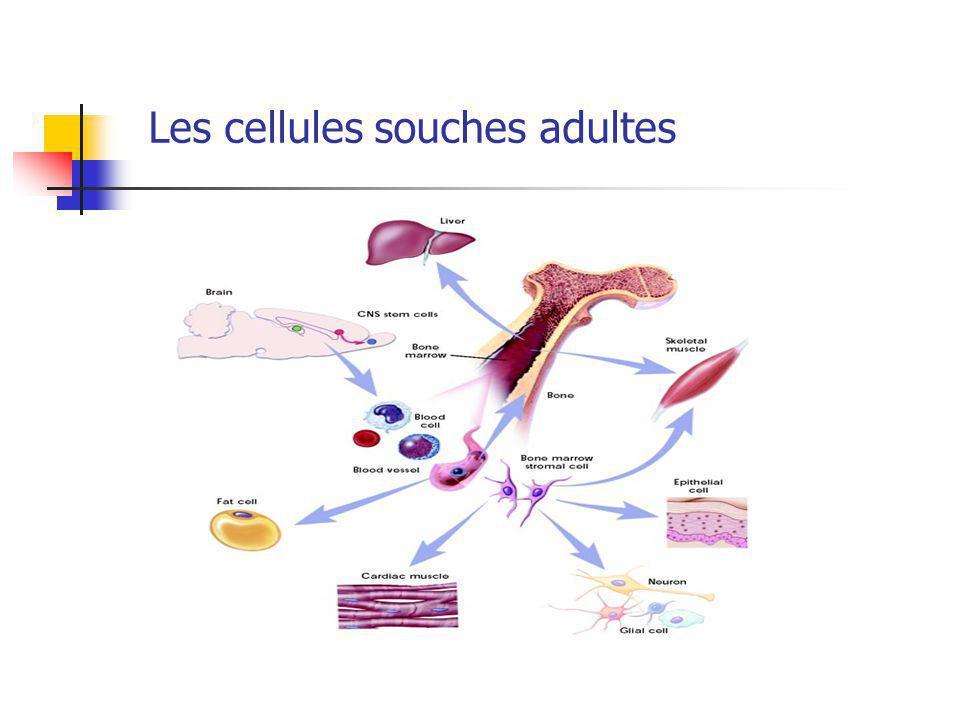 Les cellules souches adultes