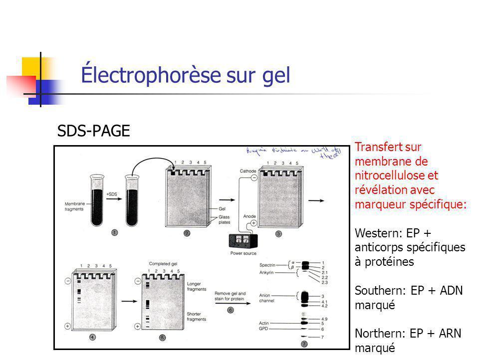 Électrophorèse sur gel SDS-PAGE Transfert sur membrane de nitrocellulose et révélation avec marqueur spécifique: Western: EP + anticorps spécifiques à protéines Southern: EP + ADN marqué Northern: EP + ARN marqué