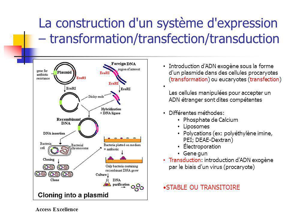 La construction d un système d expression – transformation/transfection/transduction Introduction d ADN exogène sous la forme d un plasmide dans des cellules procaryotes (transformation) ou eucaryotes (transfection) Les cellules manipulées pour accepter un ADN étranger sont dites compétentes Différentes méthodes: Phosphate de Calcium Liposomes Polycations (ex: polyéthylène imine, PEI; DEAE-Dextran) Électroporation Gene gun Transduction: introduction d ADN exogène par le biais d un virus (procaryote) STABLE OU TRANSITOIRE Access Excellence