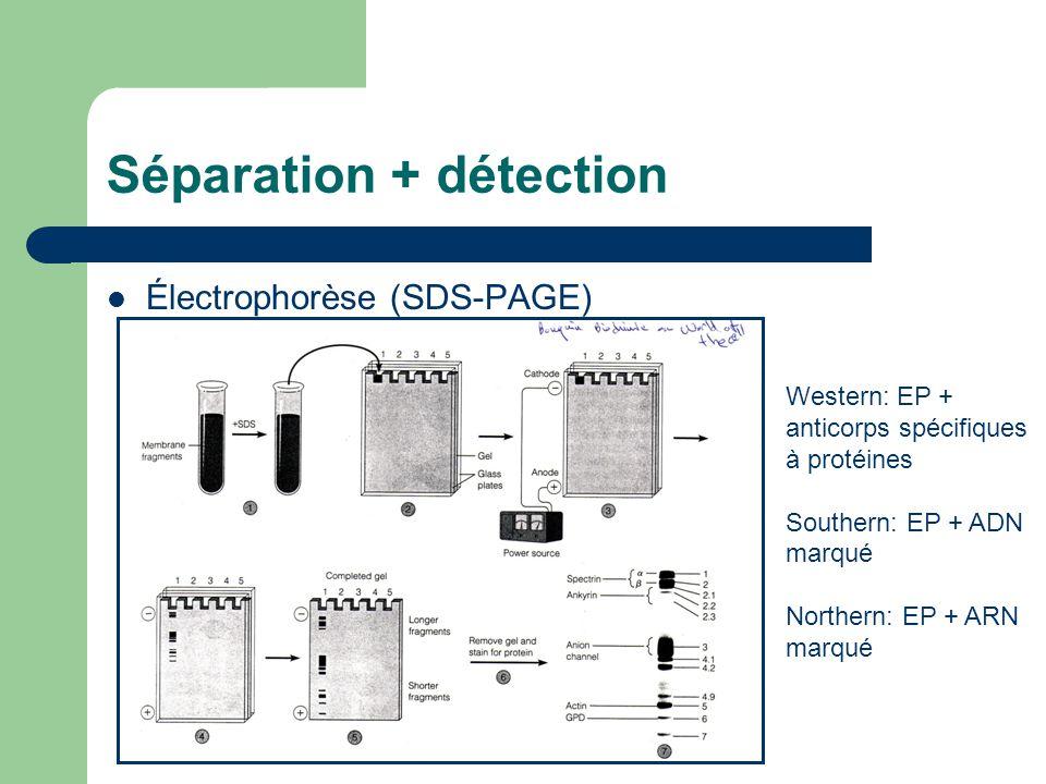 Séparation + détection Électrophorèse (SDS-PAGE) Western: EP + anticorps spécifiques à protéines Southern: EP + ADN marqué Northern: EP + ARN marqué