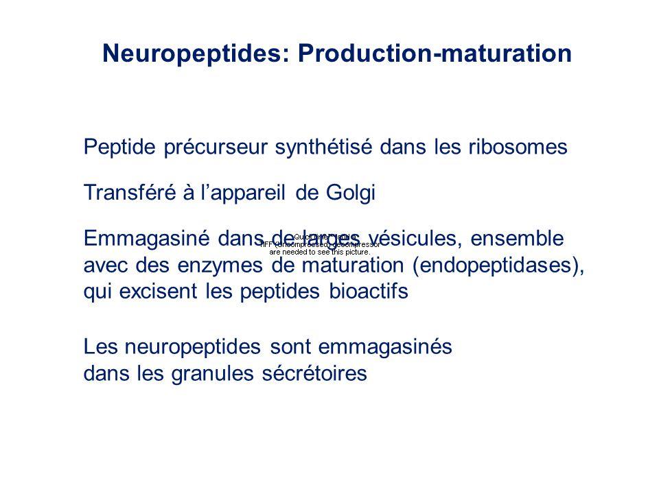 Neuropeptides: Production-maturation Peptide précurseur synthétisé dans les ribosomes Transféré à lappareil de Golgi Emmagasiné dans de larges vésicul