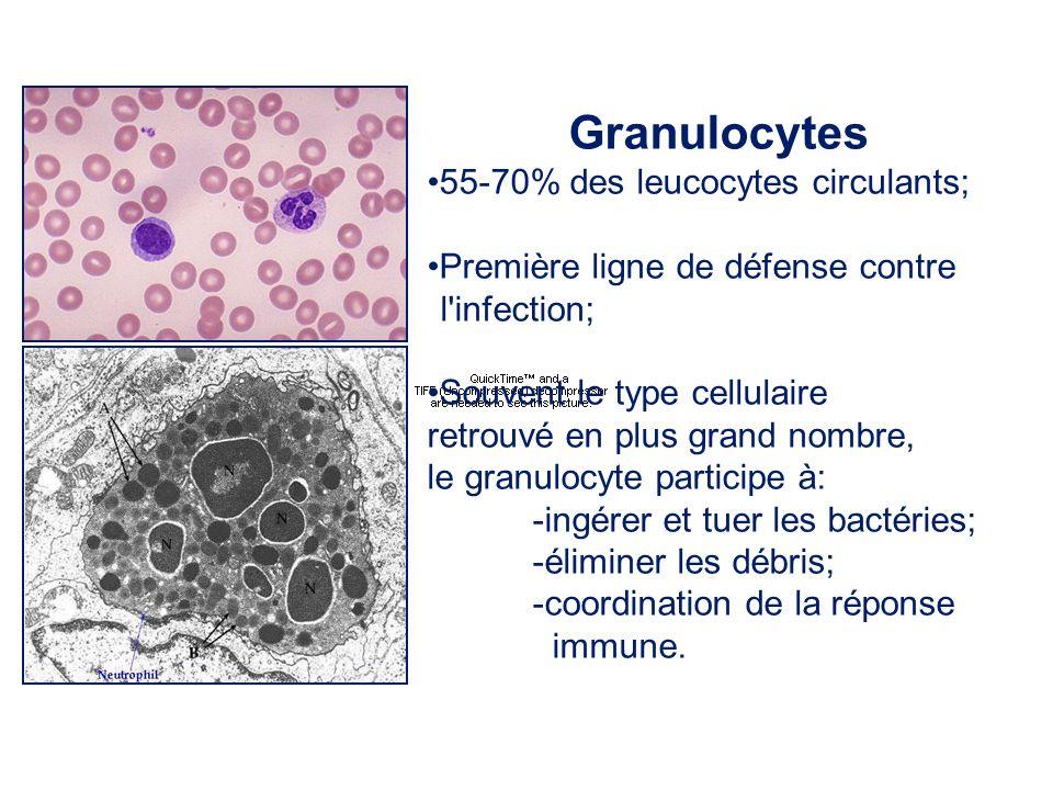 Granulocytes 55-70% des leucocytes circulants; Première ligne de défense contre l'infection; Souvent le type cellulaire retrouvé en plus grand nombre,