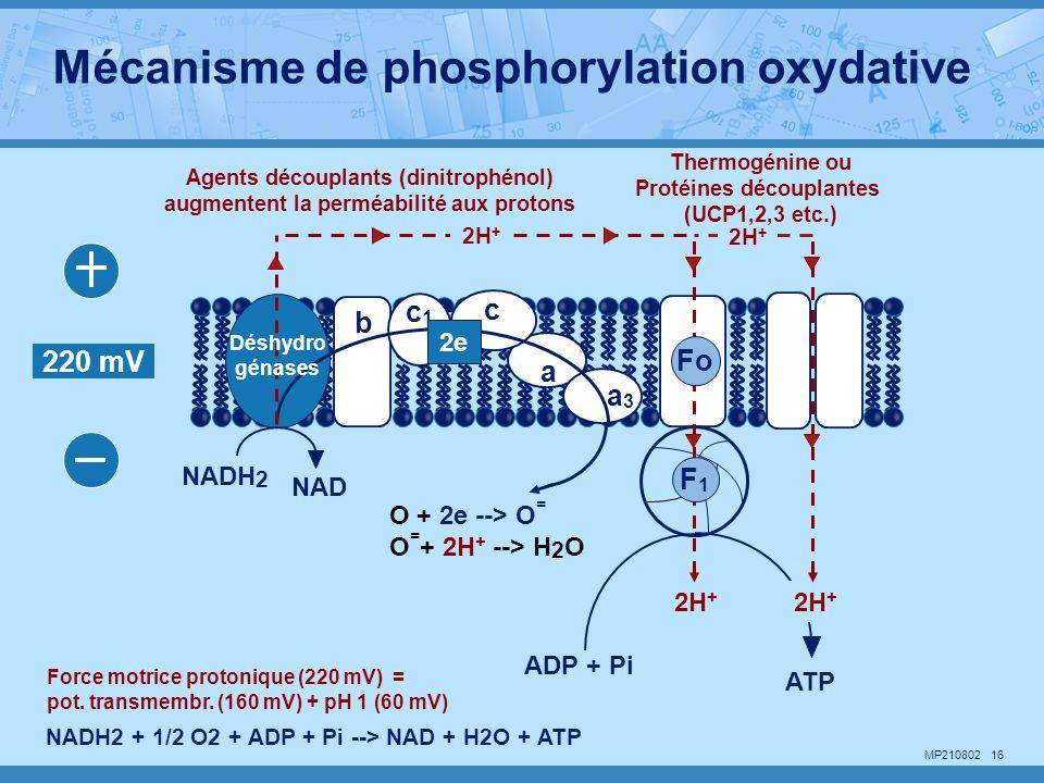 MP210802 16 O + 2e --> O = O = + 2H + --> H 2 O b NADH 2 NAD ADP + Pi ATP a a3a3 c c1c1 220 mV 2e 2H + NADH2 + 1/2 O2 + ADP + Pi --> NAD + H2O + ATP F