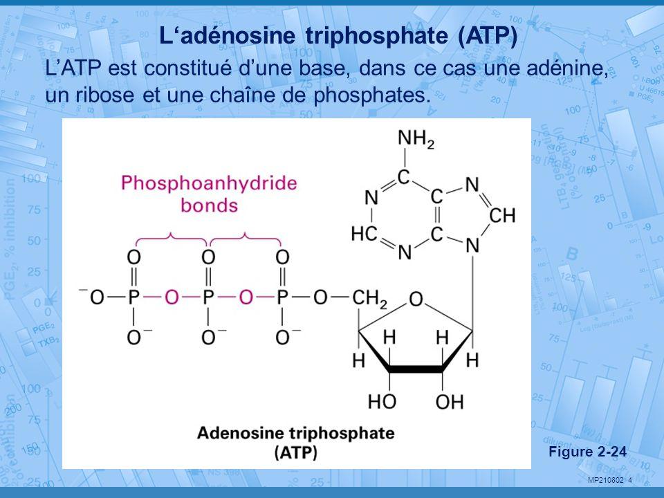 MP210802 4 Ladénosine triphosphate (ATP) LATP est constitué dune base, dans ce cas une adénine, un ribose et une chaîne de phosphates. Figure 2-24