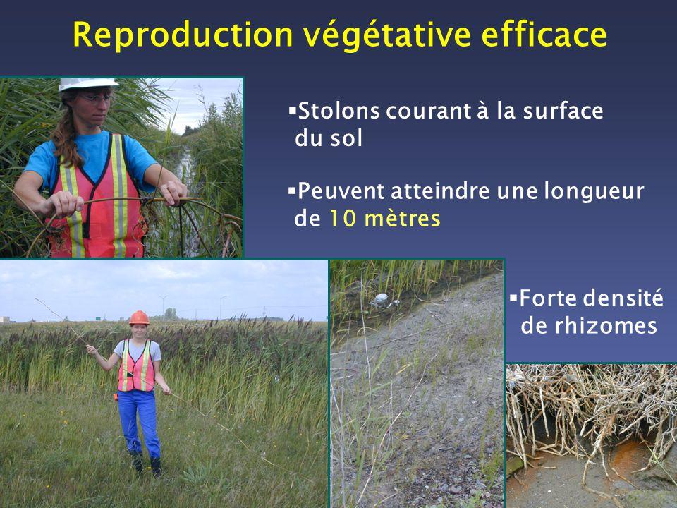 Stolons courant à la surface du sol Reproduction végétative efficace Forte densité de rhizomes Peuvent atteindre une longueur de 10 mètres