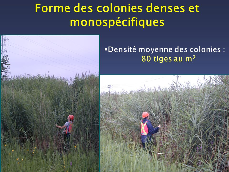 Densité moyenne des colonies : 80 tiges au m 2 Forme des colonies denses et monospécifiques