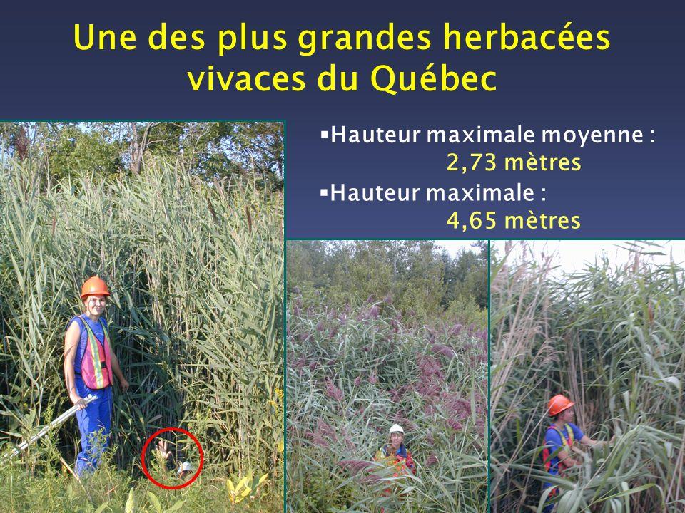 Une des plus grandes herbacées vivaces du Québec Hauteur maximale moyenne : 2,73 mètres Hauteur maximale : 4,65 mètres