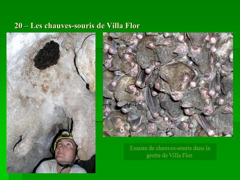 20 – Les chauves-souris de Villa Flor Essaim de chauves-souris dans la grotte de Villa Flor.