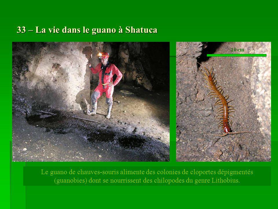 33 – La vie dans le guano à Shatuca Le guano de chauves-souris alimente des colonies de cloportes dépigmentés (guanobies) dont se nourrissent des chil