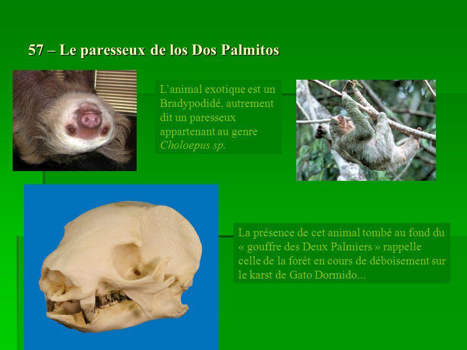 57 – Le paresseux de los Dos Palmitos La présence de cet animal tombé au fond du « gouffre des Deux Palmiers » rappelle celle de la forêt en cours de