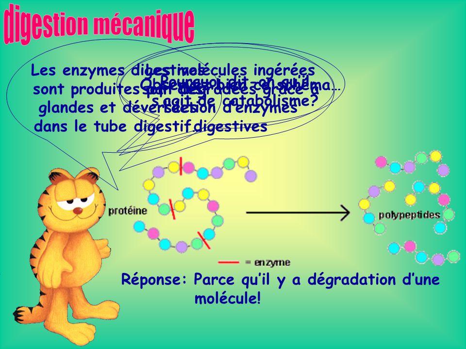La segmentation est le type de digestion mécanique ayant lieu dans lintestin grêle.