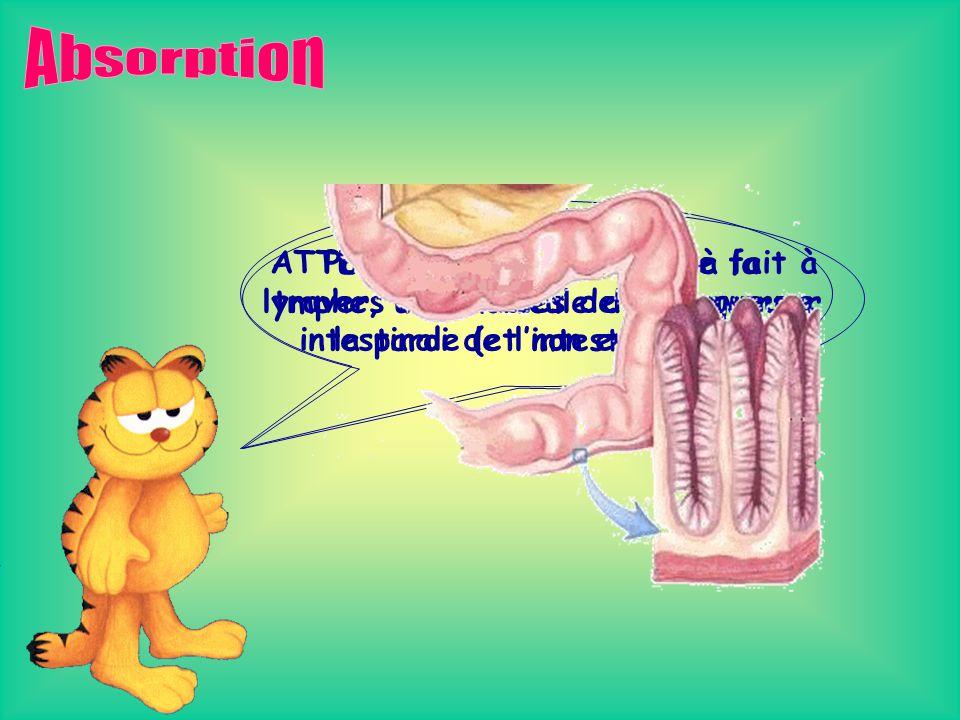 Observons maintenant la situation anatomique de ces différentes glandes… Glandes salivaires Glandes gastriques Pancréas Glandes intestinales