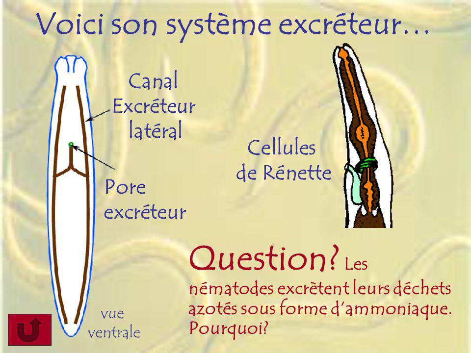 vue ventrale Voici son système excréteur… Question? Les nématodes excrètent leurs déchets azotés sous forme dammoniaque. Pourquoi? Cellules de Rénette