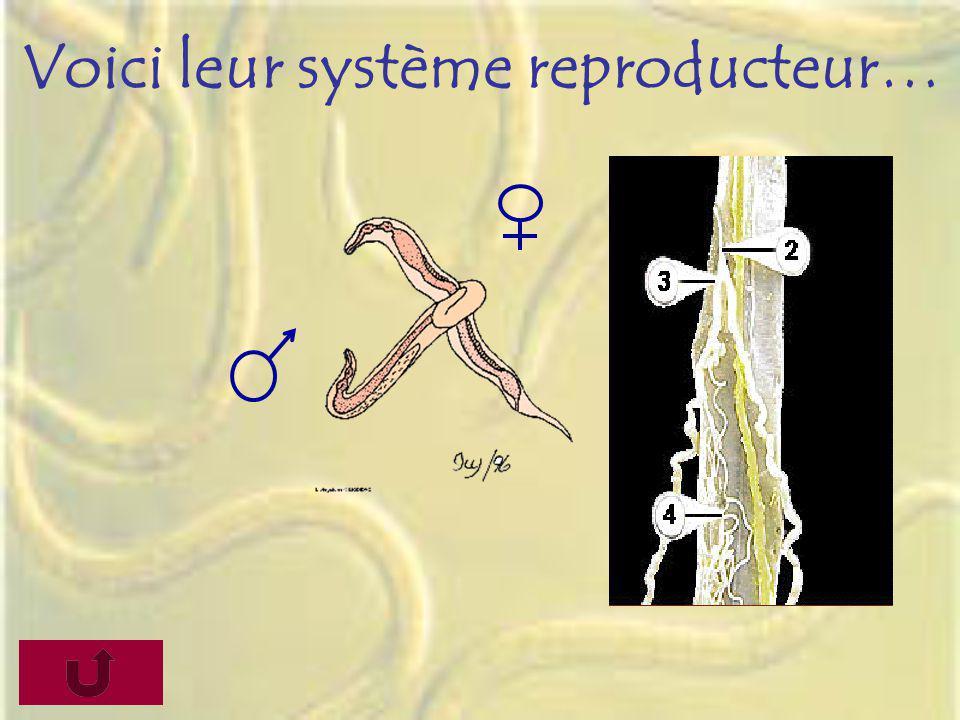 Voici leur système reproducteur…
