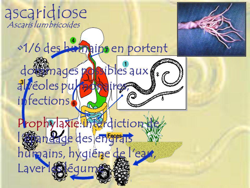 ascaridiose Ascaris lumbricoides 1/6 des humains en portent dommages possibles aux alvéoles pulmonaires, infections Prophylaxie:interdiction de l'épan