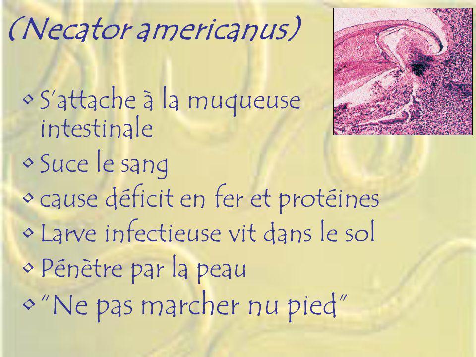 (Necator americanus) Sattache à la muqueuse intestinale Suce le sang cause déficit en fer et protéines Larve infectieuse vit dans le sol Pénètre par l