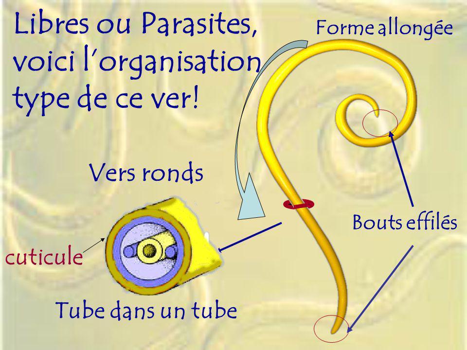 Vers ronds Tube dans un tube Forme allongée Libres ou Parasites, voici lorganisation type de ce ver! Bouts effilés cuticule