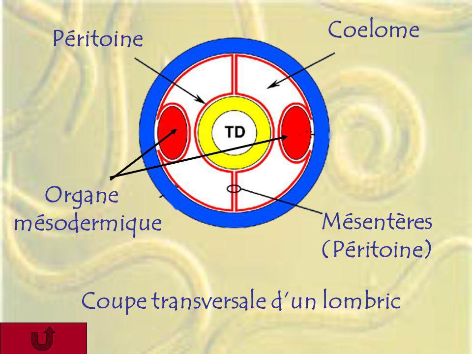 Péritoine Coelome Mésentères (Péritoine) Organe mésodermique Coupe transversale dun lombric
