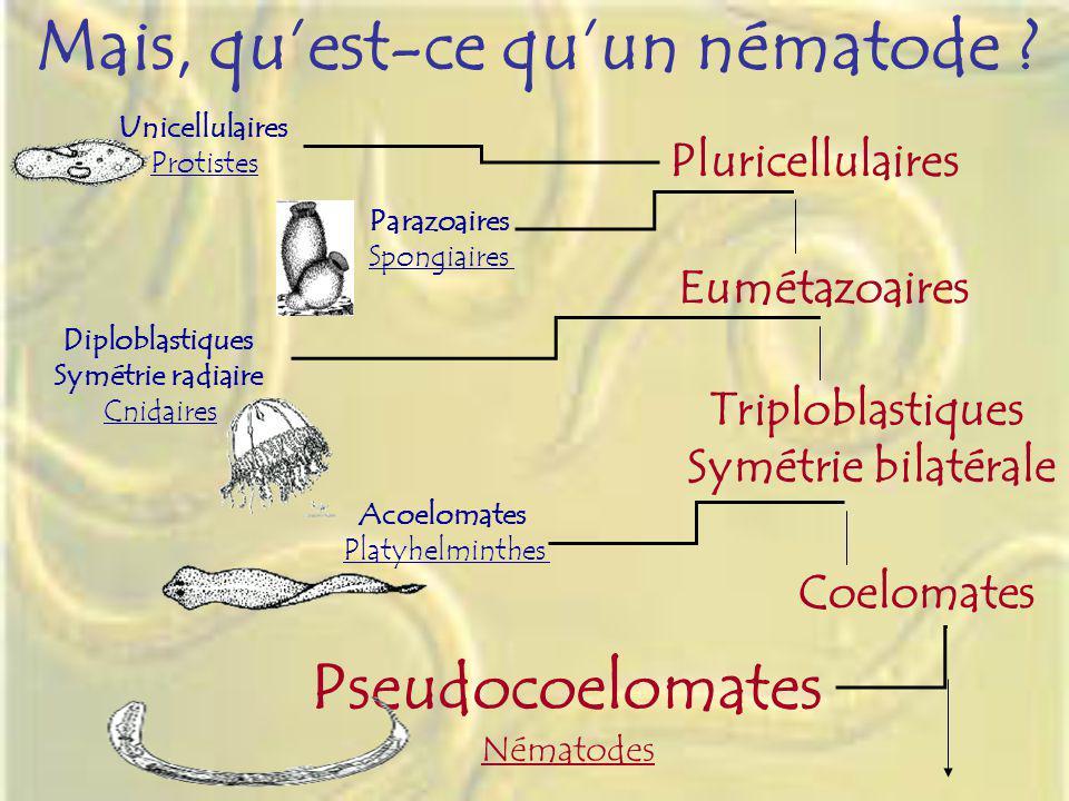 Mais, quest-ce quun nématode ? Unicellulaires Protistes Pluricellulaires Parazoaires Spongiaires Triploblastiques Symétrie bilatérale Acoelomates Plat
