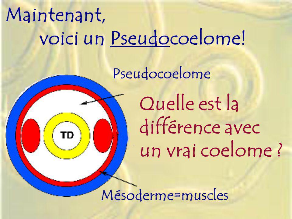 Pseudocoelome Mésoderme=muscles Maintenant, voici un Pseudocoelome! Quelle est la différence avec un vrai coelome ?