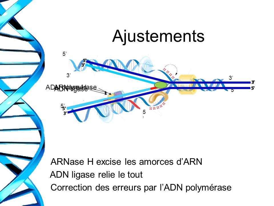 Ajustements ARNase H excise les amorces dARN ADN ligase relie le tout Correction des erreurs par lADN polymérase 3 3 5 5 5 5 ADN polymérase ADN ligase