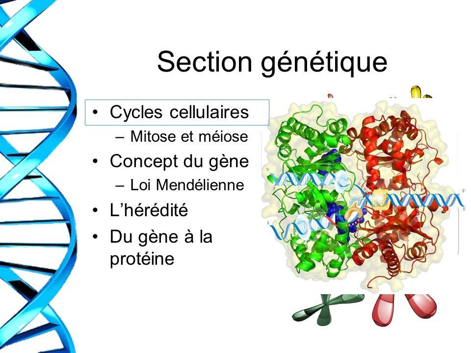 Section génétique Cycles cellulaires –Mitose et méiose Concept du gène –Loi Mendélienne Lhérédité Du gène à la protéine