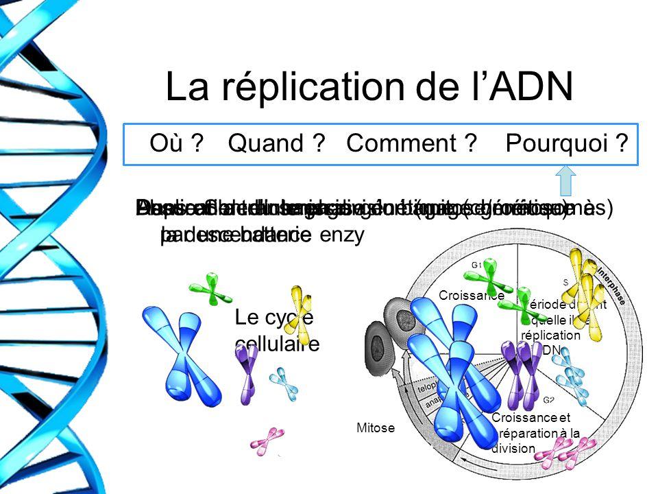 La réplication de lADN Dans une cellule en division (mitose/méiose) Où ?Quand ?Comment ?Pourquoi ? Phase S de linterphase Duplication du bagage généti