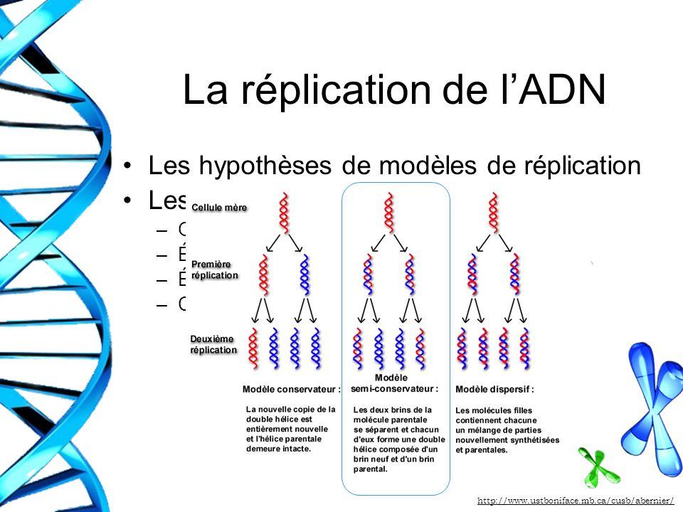 La réplication de lADN Les hypothèses de modèles de réplication Les étapes du modèle procaryote –Origine de réplication –Élongation du brin dADN conti