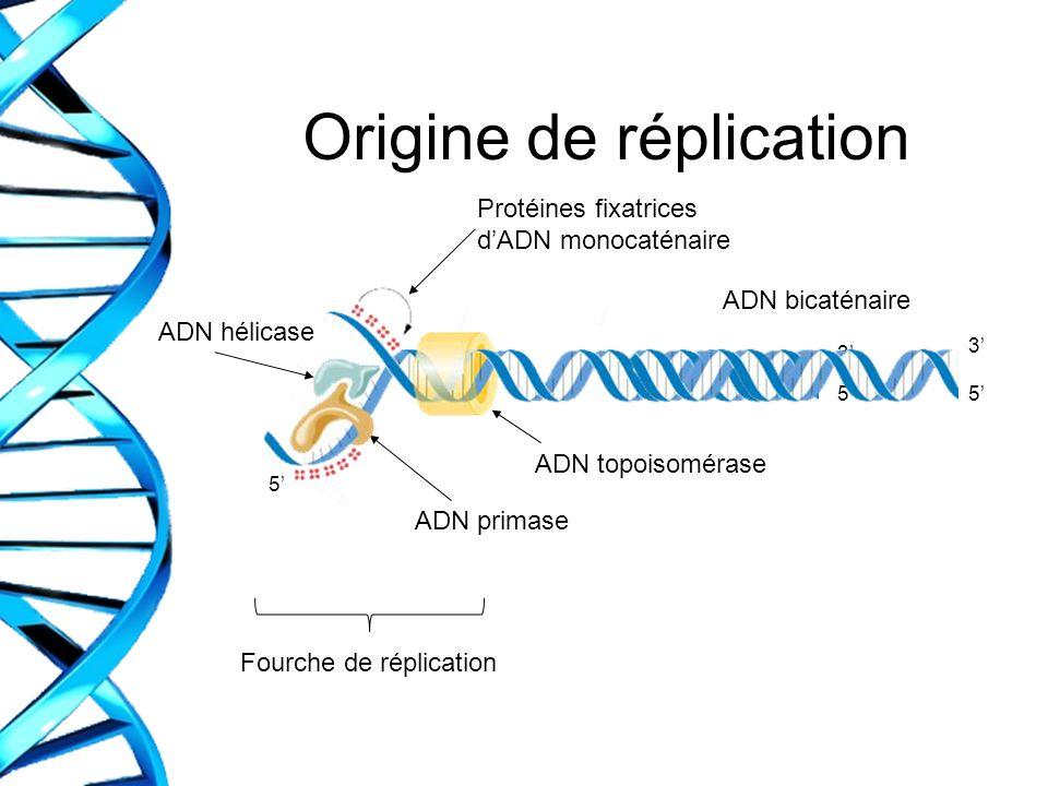 Origine de réplication Protéines fixatrices dADN monocaténaire ADN hélicase ADN primase ADN topoisomérase Fourche de réplication ADN bicaténaire 5 5 3