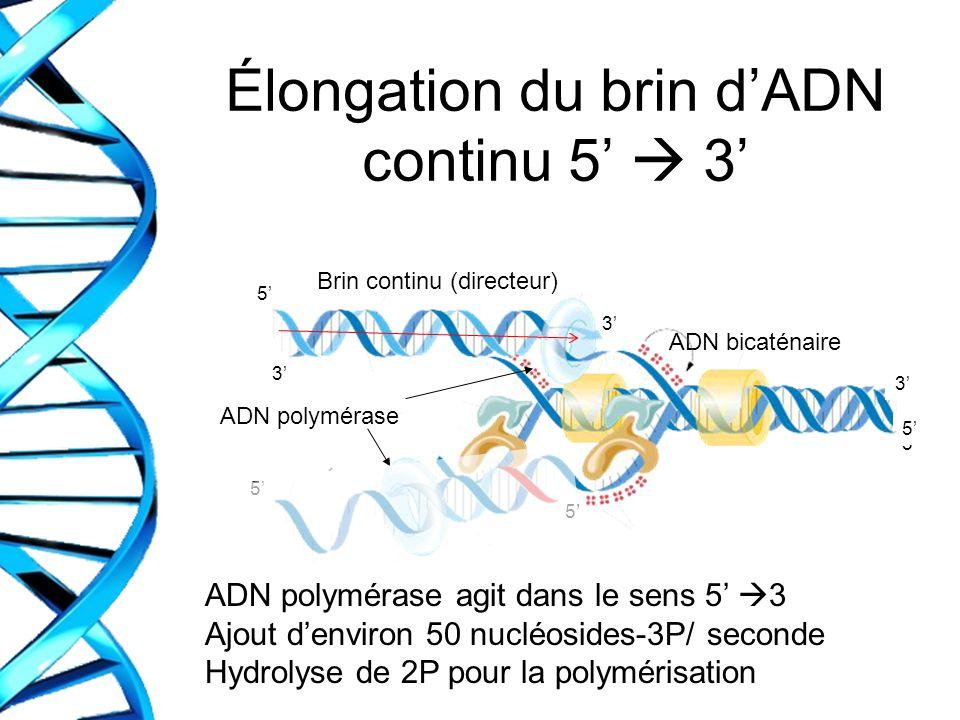 Élongation du brin dADN continu 5 3 ADN polymérase agit dans le sens 5 3 Ajout denviron 50 nucléosides-3P/ seconde Hydrolyse de 2P pour la polymérisat