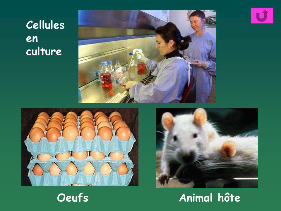 Oeufs Cellules en culture Animal hôte