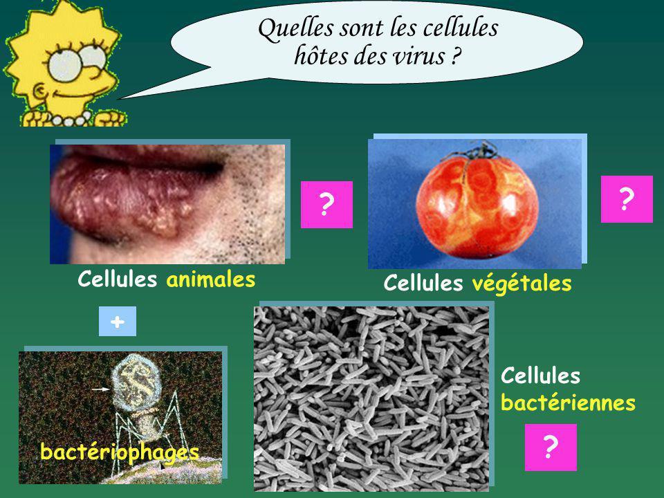 Quelles sont les cellules hôtes des virus ? Cellules animales Cellules végétales bactériophages ? ? ? Cellules bactériennes +
