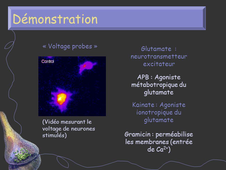 Démonstration Glutamate : neurotransmetteur excitateur APB : Agoniste métabotropique du glutamate Kainate : Agoniste ionotropique du glutamate Gramici