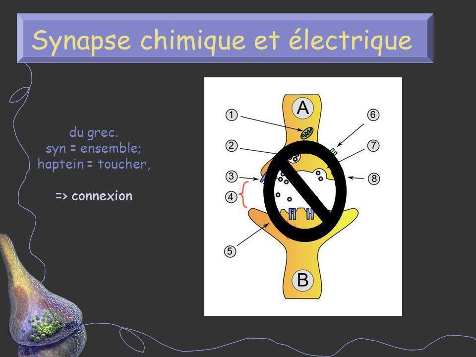 Synapse chimique et électrique du grec. syn = ensemble; haptein = toucher, => connexion 2 nm 10-40 nm