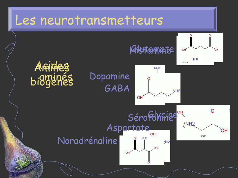 Les neurotransmetteurs Amines biogènes Sérotonine Dopamine Histamine Noradrénaline Acides aminés GABA Glycine Aspartate Glutamate