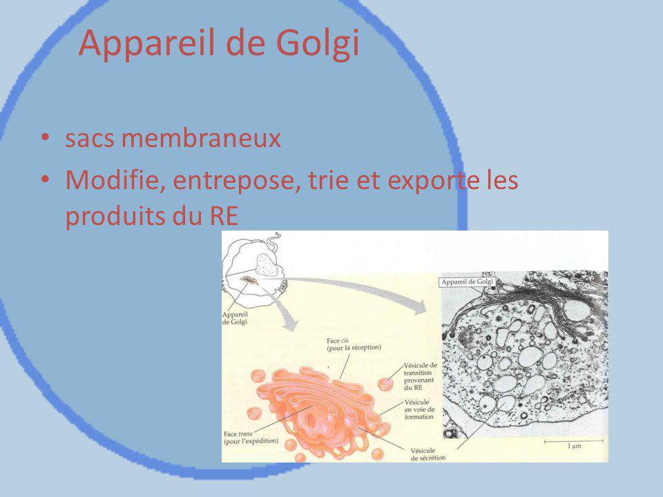 Appareil de Golgi sacs membraneux Modifie, entrepose, trie et exporte les produits du RE