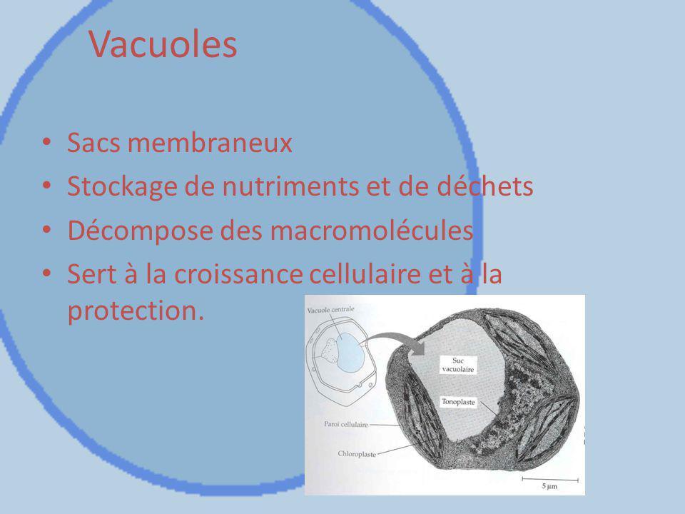 Vacuoles Sacs membraneux Stockage de nutriments et de déchets Décompose des macromolécules Sert à la croissance cellulaire et à la protection.