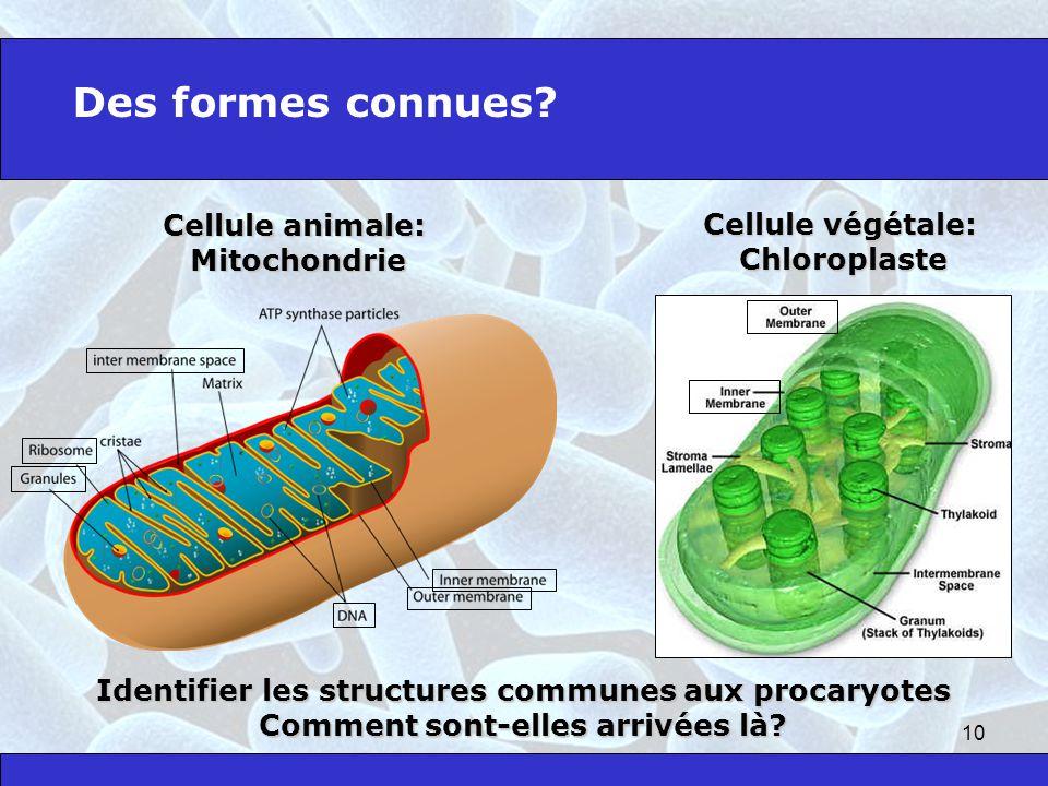 10 Des formes connues? Cellule animale: Mitochondrie Cellule végétale: Chloroplaste Identifier les structures communes aux procaryotes Comment sont-el