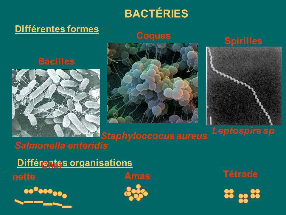 Structure des bactéries Flagelle Membrane cytoplasmique Fimbriae ADN Ribosomes Cytoplasme Composants de base Composants optionnels