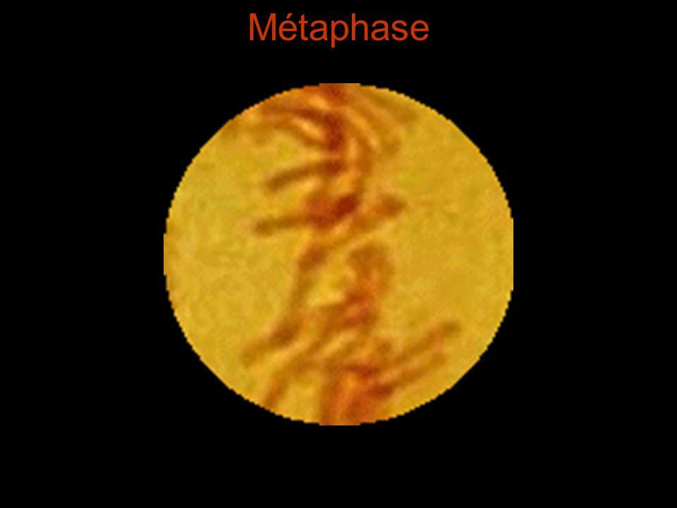 Métaphase