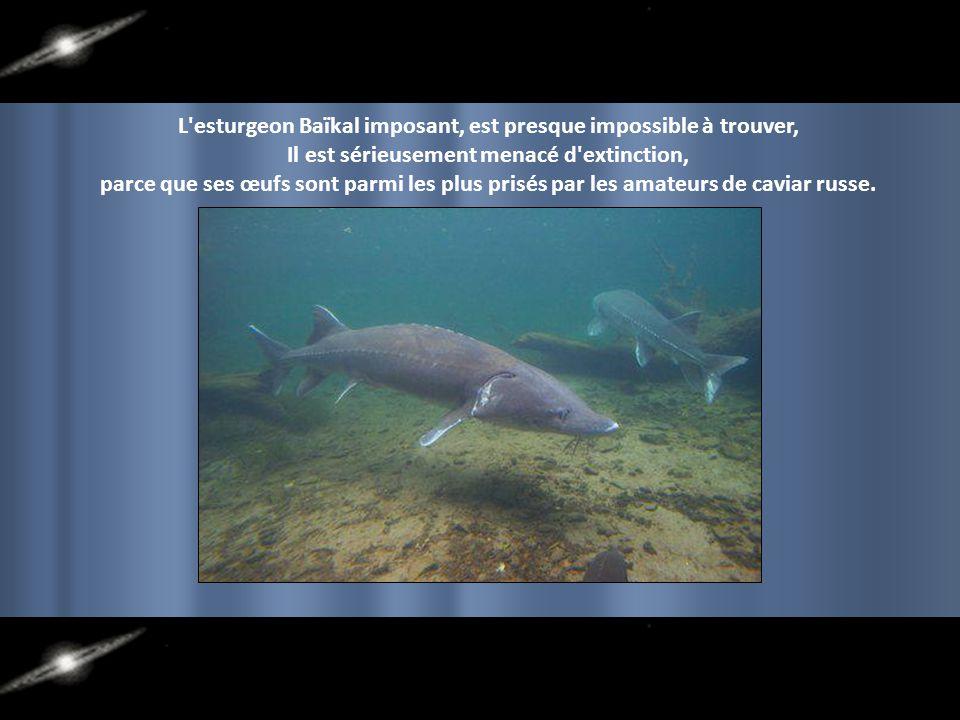 Paysage surréaliste. Plusieurs espèces endémiques de poissons, crustacés et mammifères peuplent ses eaux. Une couleur inattendue dans le fond d'un lac