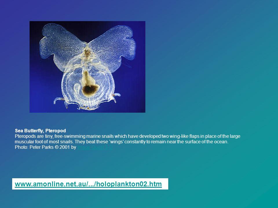 www.amonline.net.au/.../holoplankton02.htmwww.amonline.net.au/.../holoplankton02.htm. Sea Butterfly, Pteropod Pteropods are tiny, free-swimming marine
