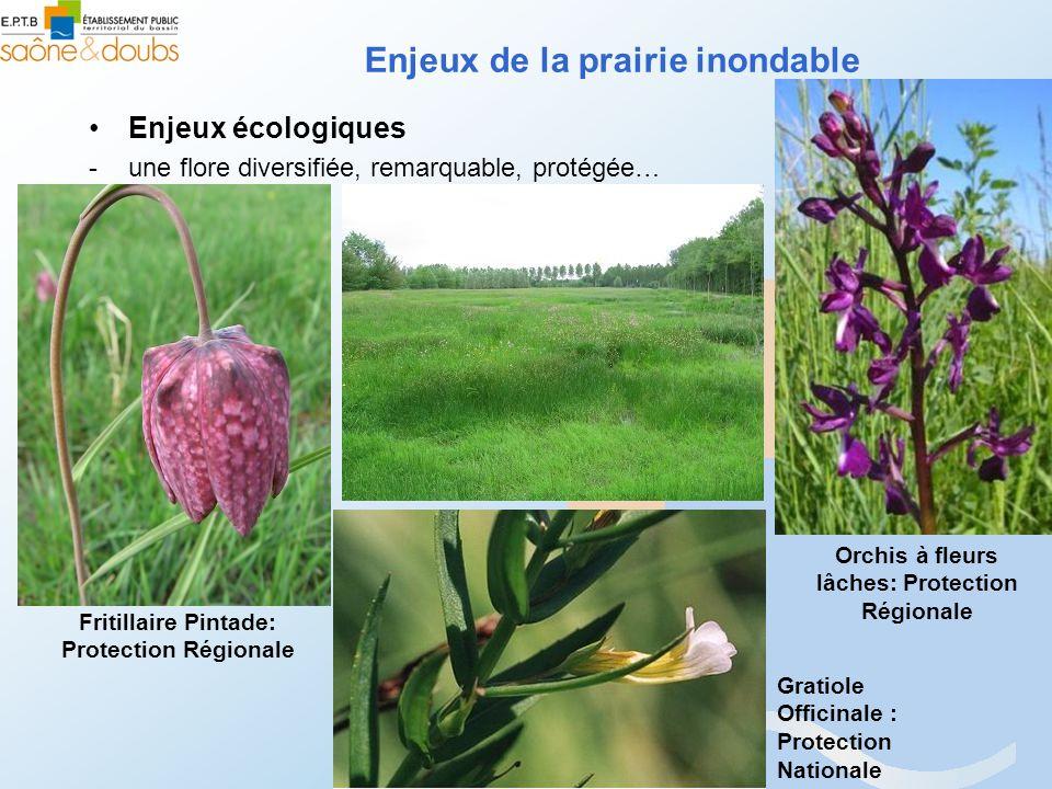 Enjeux de la prairie inondable Enjeux écologiques -une flore diversifiée, remarquable, protégée… Fritillaire Pintade: Protection Régionale Gratiole Of