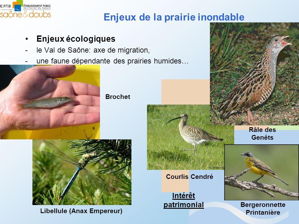 Enjeux de la prairie inondable Enjeux écologiques -le Val de Saône: axe de migration, -une faune dépendante des prairies humides… Râle des Genêts Cour