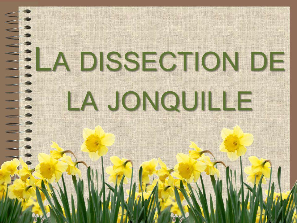 L A DISSECTION DE LA JONQUILLE