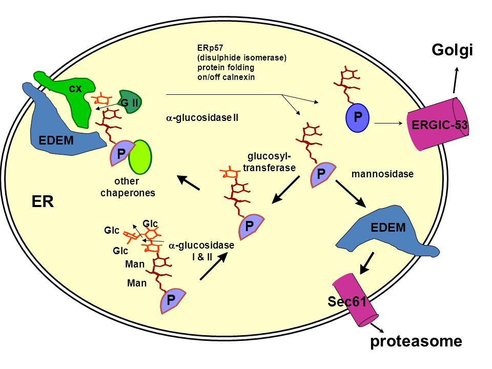 P ERp57 (disulphide isomerase) protein folding on/off calnexin glucosyl- transferase -glucosidase II -glucosidase I & II P Glc Man Glc other chaperone