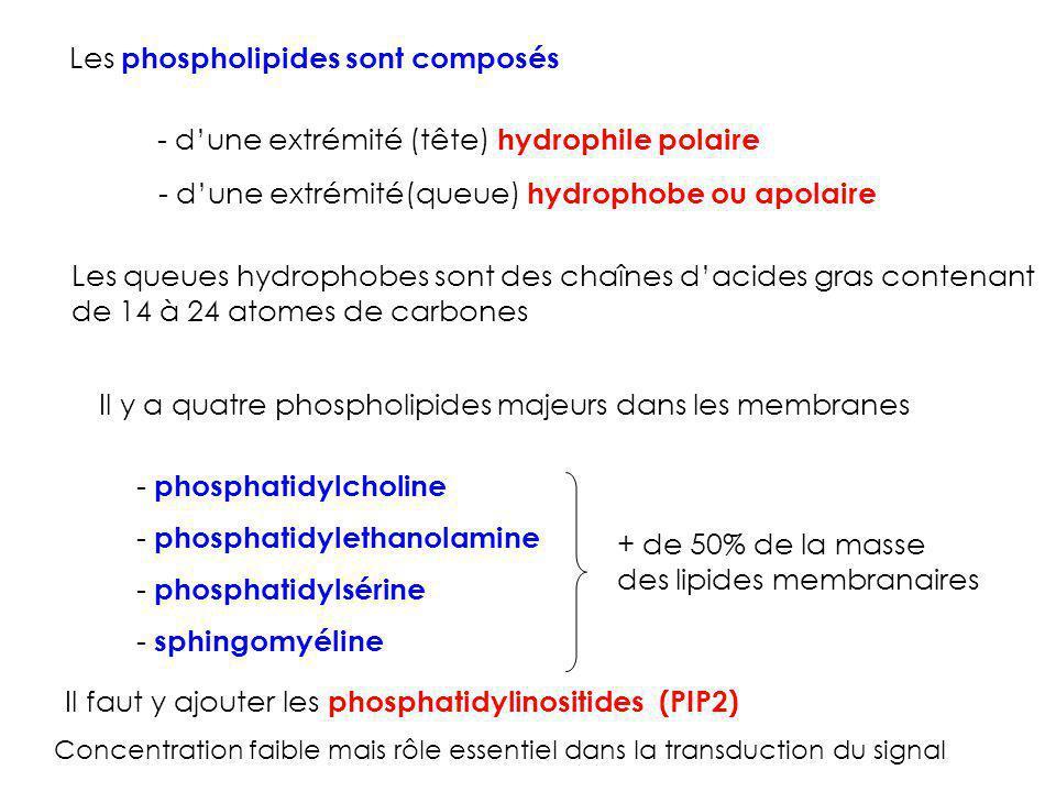 Les phospholipides sont composés - dune extrémité (tête) hydrophile polaire - dune extrémité(queue) hydrophobe ou apolaire Les queues hydrophobes sont