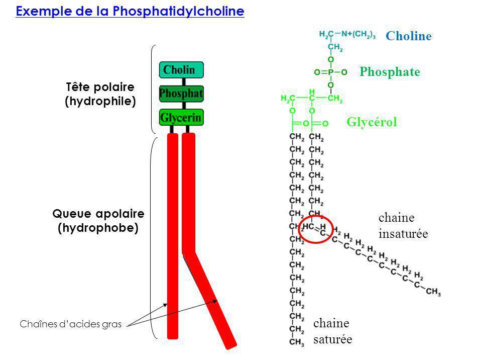 Exemple de la Phosphatidylcholine Queue apolaire (hydrophobe) Tête polaire (hydrophile) Glycérol Phosphate Choline Chaînes dacides gras chaine saturée